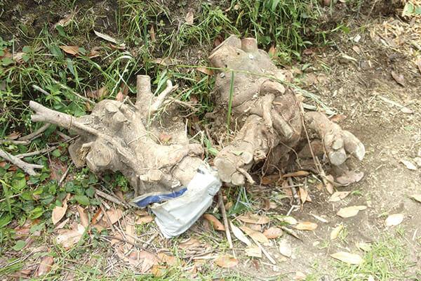 収集不可:木の根